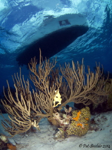 Clear Clear Water! Taken in Bonaire - the gorgonian was ... by Patricia Sinclair