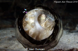 A small Coconut Octopus (Amphioctopus marginatus) hides i... by Alan Duncan