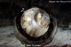 A small Coconut Octopus (Amphioctopus marginatus) hides i... by Alan Duncan