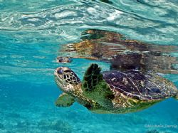 Turtle Reflection Kailua Kona, Hawaii, cropped, This guy... by Michele Jarvis