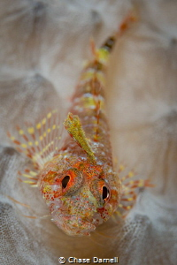 """""""Face Paint""""  A detailed and colorful Blenny portrait. by Chase Darnell"""
