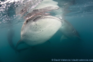 Whale Sharks Feeding. La Paz, B.C.S., Mexico by David Valencia