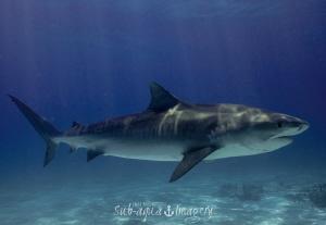 Female Tiger Shark - Tiger Beach, Bahamas by Jan Morton