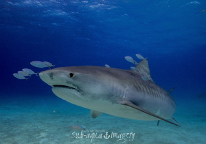 Female Tiger Shark by Jan Morton
