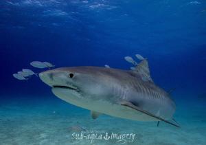 Female Tiger Shark by Jan Morton