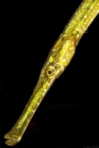 pipefish (Thau lagoon) by Mathieu Foulquié