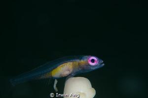 P O O  Pink-eye goby (Bryaninops natans)  Anilao, Phili... by Irwin Ang