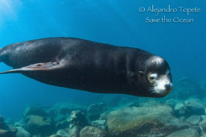 Male Sea Lion around, La Paz Mexico by Alejandro Topete