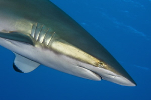 Silky shark by Paul Colley