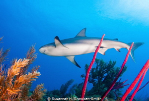 My second time ever photographing sharks and I can't wait... by Susannah H. Snowden-Smith