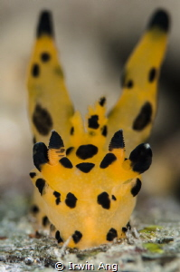 P I K A C H U  Nudibranch (Thecacera pacifica)  Anilao,... by Irwin Ang