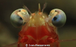 Hypnotized Shrimp by Ivan Manzanares