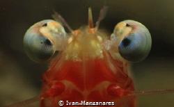 Hypnotized Shrimp by Ivan Manzanares