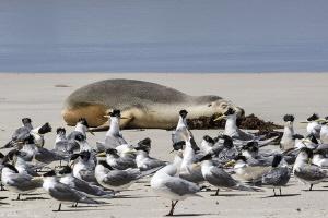 resting (seal bay, KI) by Mathieu Foulquié