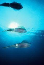 Squids, Something Special Reef, Bonaire by Erich Reboucas