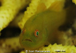 Mr. Hairy Goby this goby keeps on swimming inside its  h... by Ivan Manzanares