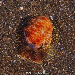 gasteropode conchigliato by Scozio Salvatore