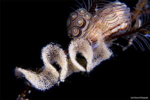 Donut Nudibranch laying eggs by Iyad Suleyman