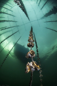 baby oysters; another view (Thau lagoon) by Mathieu Foulquié