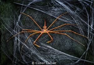 """""""Crab Web"""" part of my Underwater Surrealism Series. Arrow... by Conor Culver"""