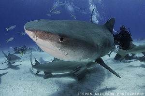 Seeing eye to eye at Tiger Beach - Bahamas by Steven Anderson