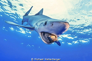 snack time , a blue shark have lunch time by Michael Weberberger