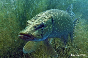 """""""Freshwater Barracuda"""" - Portrait of a Northern Pike in a... by Andre Philip"""
