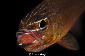 M O U T H B R O O D I N G Cardinal fish with eggs (Apogo... by Irwin Ang