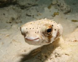 Curious Ballonfish found on a night dive in Cozumel. Take... by Bob Edwards