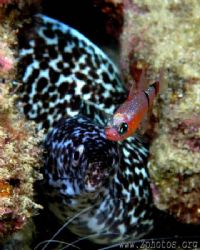 I was trying to shoot the eel when this mimic cardinalfis... by Zaid Fadul