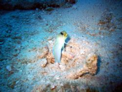 This is a close up of a yellow headed Jawfish that was cl... by Allyssa Arnold