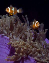 clownfish pair, Similans by Gloria Freund