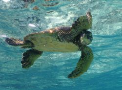 Hawaiian Sea turtle scratching an itch however it looks l... by Michele Jarvis