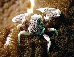 Porcelaine crab by Jess Guberman
