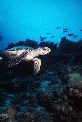 Hawksbill Turtle cruising the reef, Bonaire. by Erich Reboucas
