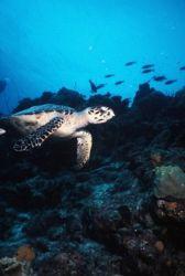 Hawksbill Turtle cruising the reef, Bonaire. by Erich Reboucas
