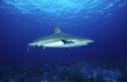 Caribbean Reef Shark #1, was taken at roughly seventy fee... by Phil Maranda