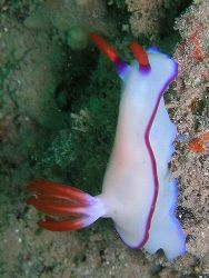 Nicely coloured nudibranch off Bunaken, Manado by Dawn Watson