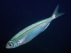 Shiny! Close up of a baitfish off Bunaken, Manado by Rob Spray