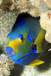 Coral Frame - This shy queen angelfish insisted on using ... by Laszlo Ilyes