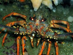 Big angry crayfish, or spiny lobster by Dawn Watson