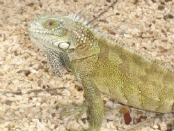 Picture actually taken in Curacao. They make iguana soup ... by Kelly N. Saunders
