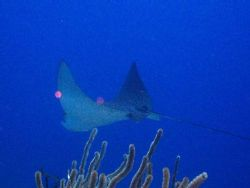 Cruising gracefully. Spotted eagle ray taken at French Ca... by Thierry Tremblay