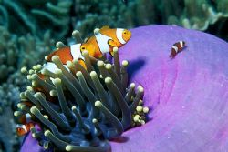 Nemo and his family. Picture taken with Nikon F100 and Ta... by Arthur Telle Thiemann
