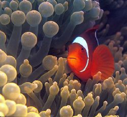 One more Clownfish. by Raul Rodriguez