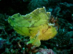 Poor in swimming, this leaf fish is approximately 8cm lon... by Tony Otion