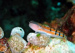 So cute! Tiny little blenny snapped whilst sheltering fro... by Dawn Watson