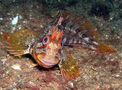 Tompot blenny off the South Coast of England. He made a g... by Rob Spray
