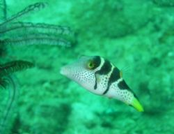 I think this is a trigger fish ? He was very inquisative ... by Penny Taylor