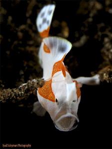 Juvenile Clown Frogfish by Iyad Suleyman